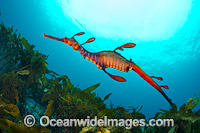 Weedy Seadragon photo