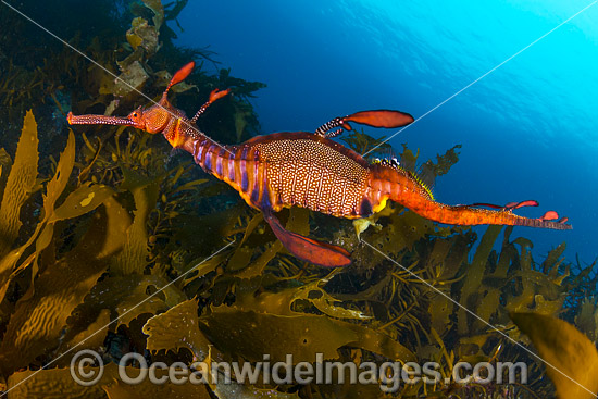 Weedy Seadragon (Phyllopteryx taeniolatus). Found in temperate coastal waters of Australia, from Geraldton, WA, to Port Stephens, NSW, and around Tas. Photo taken off Bicheno, Tasmania, Australia. Endemic to Australia.