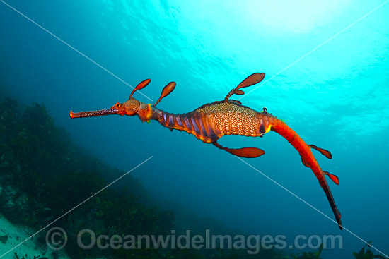Weedy Seadragon (Phyllopteryx taeniolatus). Found in temperate coastal waters of Australia, from Geraldton, WA, to Port Stephens, NSW, and around Tas. Photo taken off Bicheno, Tasmania, Australia. Endemic to Australia. Photo - Gary Bell