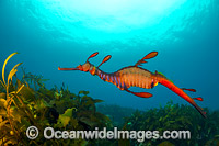Weedy Seadragon Photo - Gary Bell