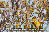 Southern Pot-belly Seahorses Photo - Gary Bell