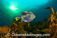 Shaws Cowfish Tasmania Photo - Gary Bell