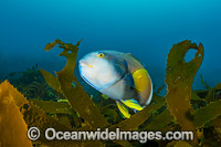 Blue-throated Wrasse Tasmania Photo - Gary Bell