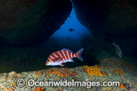 Banded Morwong Tasmania photo