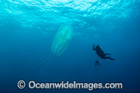 Diver and Jellyfish photo