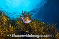 Leatherjacket in Kelp Tasmania photo