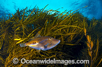 Leatherjacket in Kelp photo