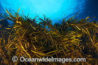 Kelp Tasmania Photo - Gary Bell