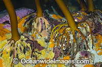 Kelp Holdfast Photo - Gary Bell