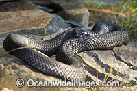 Tasmanian Tiger Snake photo
