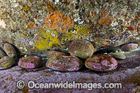 Blacklip Abalone Tasmania Photo - Gary Bell