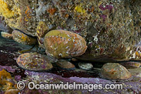 Blacklip Abalone photo