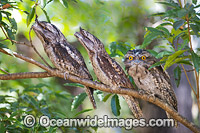 Tawny Frogmouth Australia photo