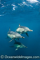 Long-beak Dolphins photo