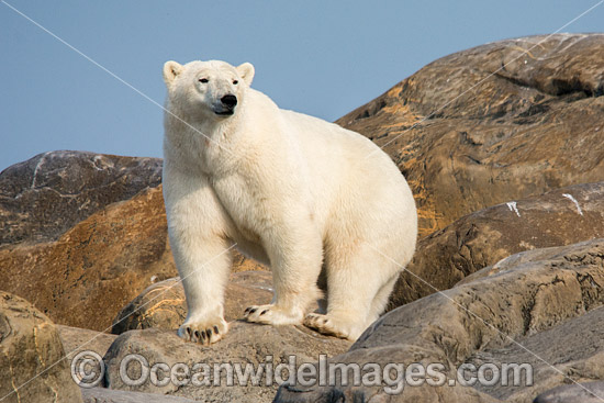 Polar Bear (Ursus maritimus), trying to stay cool in the summer sun near Churchill, Hudson Bay, Manitoba, Canada, Canadian Arctic. Classified Vulnerable on the IUCN Red List.