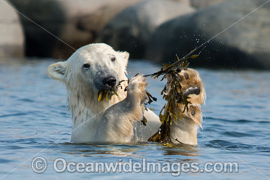 Polar Bear (Ursus maritimus), eating kelp during the summer when other food is scarce. Photo taken in Churchill, Hudson Bay, Manitoba, Canada, Canadian Arctic. Classified Vulnerable on the IUCN Red List.