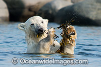 Polar Bear eating kelp image