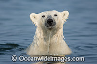 Polar Bear Canada photo