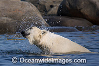 Polar Bear Hudson Bay Canada photo