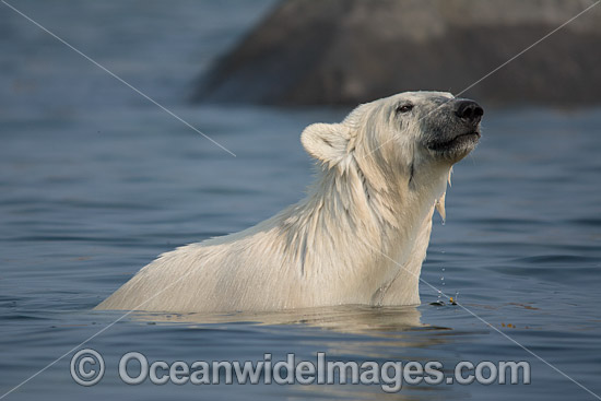 Polar Bear (Ursus maritimus), sniffing the air while trying to stay cool in the summer sun near Churchill, Hudson Bay, Manitoba, Canada, Canadian Arctic. Classified Vulnerable on the IUCN Red List.