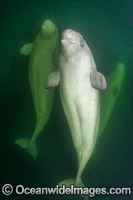 Beluga Whales underwater photo