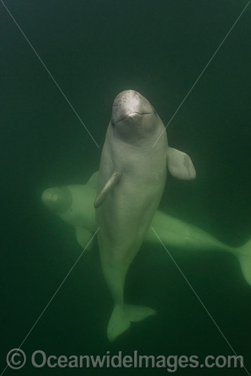 Beluga Whale (Delphinapterus leucas), hunting in the murky waters of the Churchill River, Manitoba, Canada, Arctic Ocean. Also known as White Whale. Found in the Arctic and sub-Arctic region.
