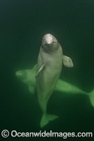 Beluga Whales Photo - Andy Murch
