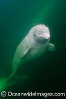 Beluga Whale Canada Photo - Andy Murch
