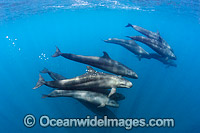False Killer Whale Mexico photo