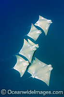 School of Atlantic Cownose  Rays Photo - Andy Murch