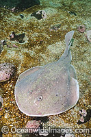 Apron Ray Discopyge tschudii Photo - Andy Murch