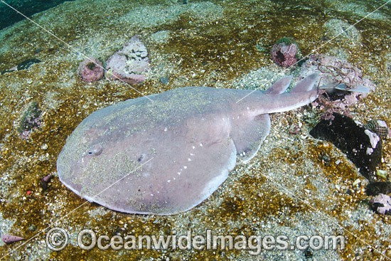 Apron Ray (Discopyge tschudii). Photo taken at Zapallar Bay, Central Chile, Eastern South Pacific.