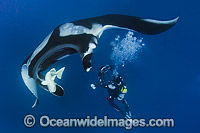 Oceanic Manta Ray Photo - Andy Murch