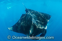Caribbean Manta Ray with bite scar Photo - Andy Murch