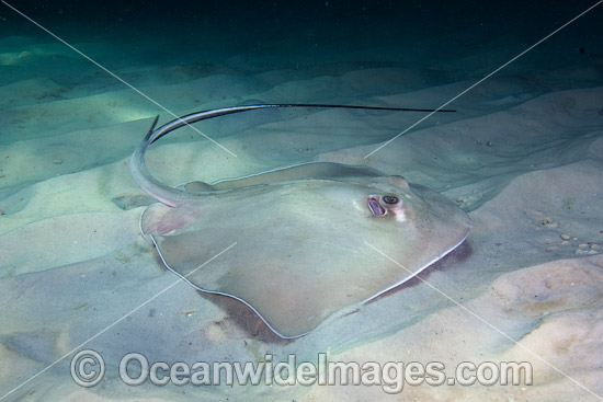 Southern Stingray (Dasyatis americana). Photo taken at Gulf of Mexico, Panama City, Florida, USA. Photo - Andy Murch