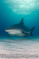 Bull Shark Caribbean photo