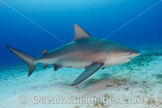 Bull Shark (Carcharhinus leucas). Also known as River Whaler, Freshwater Whaler and Swan River Whaler. Found worldwide in tropical and warm temperate seas and penetrates far into freshwater for extended periods. Playa del Carmen, Mexico, Caribbean Sea. Photo - Andy Murch