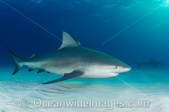 Bull Shark (Carcharhinus leucas). Also known as River Whaler, Freshwater Whaler and Swan River Whaler. Found worldwide in tropical and warm temperate seas and penetrates far into freshwater for extended periods. South Bimini Island, Caribbean Sea. Photo - Andy Murch
