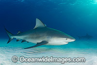 Bull Shark Bimini Island photo