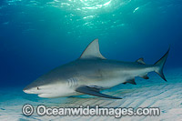 Bull Shark Photo - Andy Murch