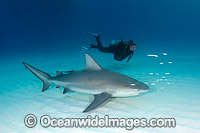 Bull Shark and Scuba Diver photo