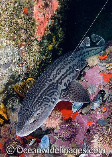 Leopard Catshark (Poroderma pantherinum). Photo taken at Simons Town, Cape Town, South Africa, Atlantic Ocean. Photo - Andy Murch