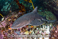 Spotted Gully Shark Triakis megalopterus photo