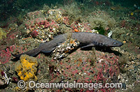 Brown Catshark Photo - Andy Murch