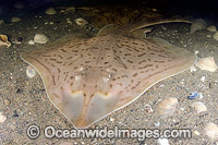 Clearnose Skate Raja eglanteria Photo - Andy Murch