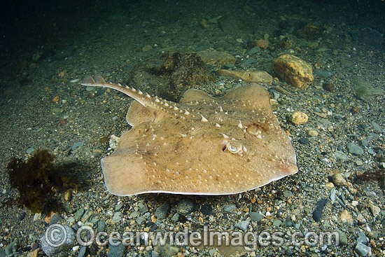 Thorny skate (Amblyraja radiata). Photo taken at Georges Bank, Rhode Island, North Atlantic Ocean. Photo - Andy Murch