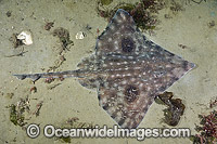 Big skate Raja binoculata photo