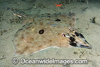 Longnose Skate Raja rhina photo