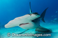 Great Hammerhead Shark Bahamas Photo - Andy Murch