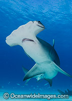 Great Hammerhead Shark Caribbean Sea Photo - Andy Murch
